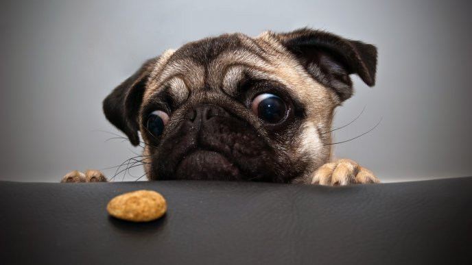 Pug wants a cookie