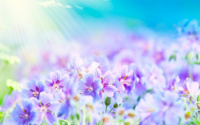 Summer flower - beautiful blue and purple flowers
