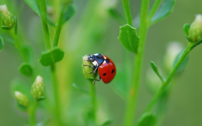 A ladybug on top of a plant - macro HD wallpaper