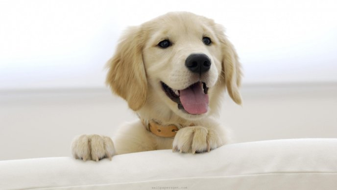 Beautiful puppy climbing on the couch HD wallpaper