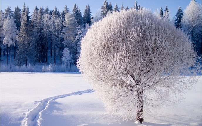 A beautiful white tree - covered with frost