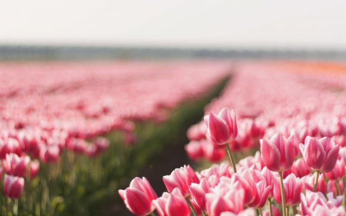 An entire field with pink tulips