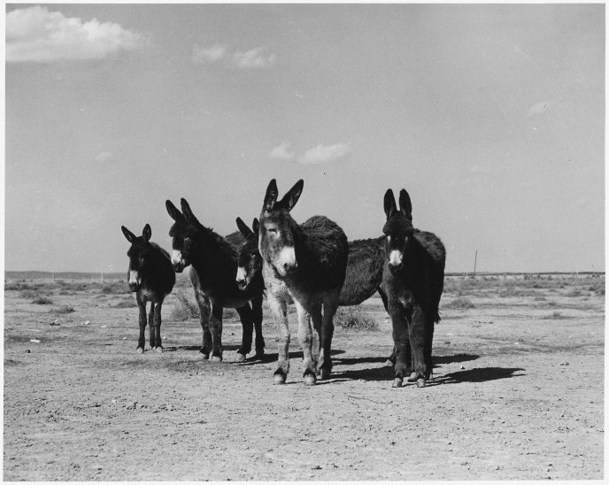 A family of donkeys on a field - black and white wallpaper