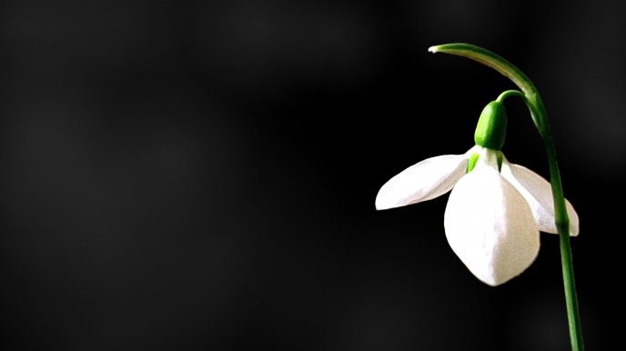 A Snowdrop on a black background - HD wallpaper