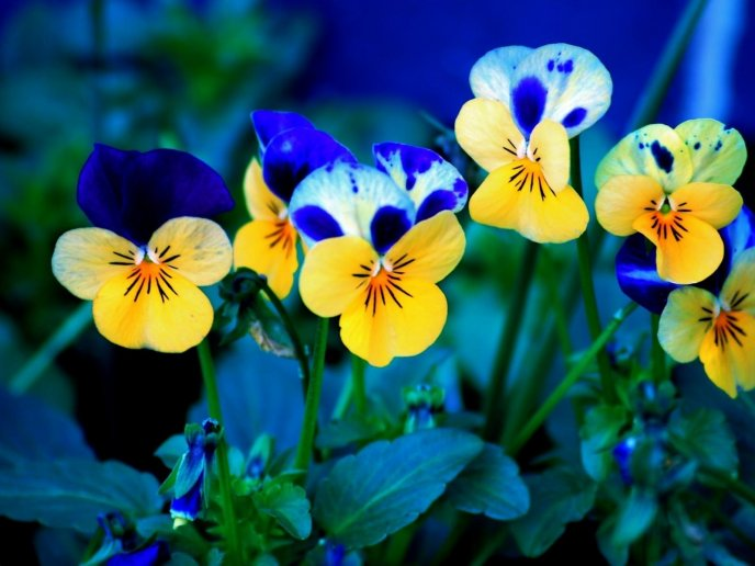 Yellow Pansies With Blue Spots Spring Flowers