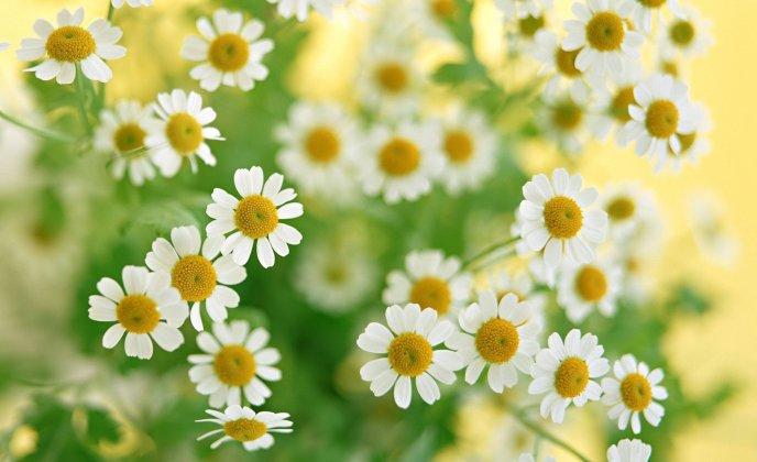 Chamomile Flower Wallpaper Lovely Chamomile Flowers