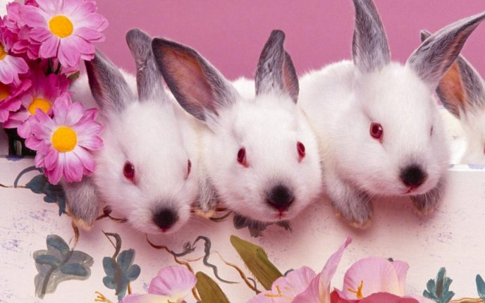 Sweet three white bunnies with gray ears