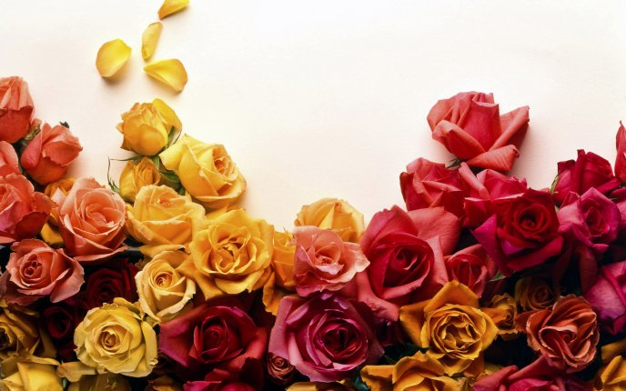 Message of love - roses in different colors