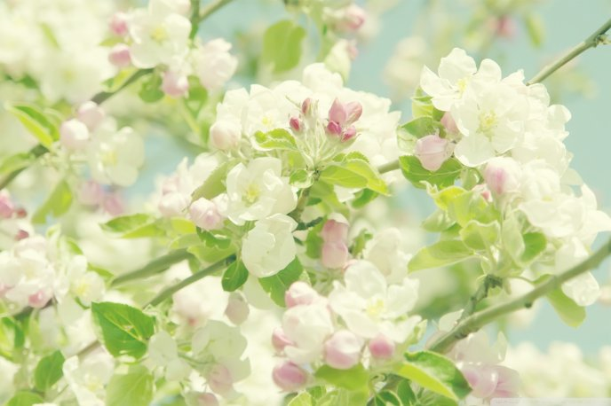 Download Wallpaper Apple tree in blossom - spring time