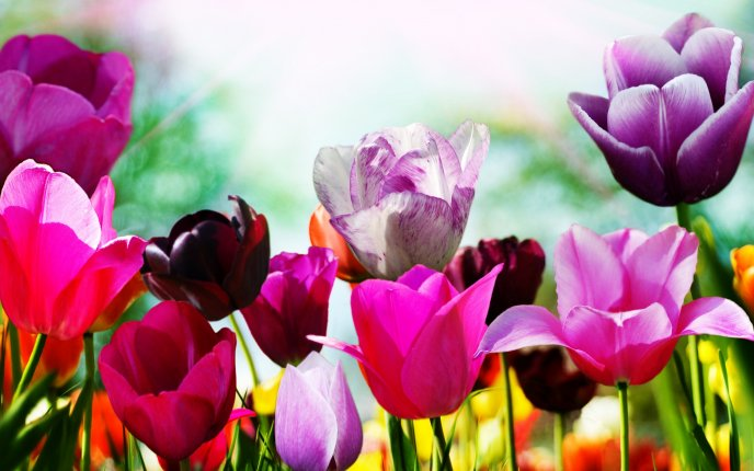 A picture filled with spring tulips - beautiful garden