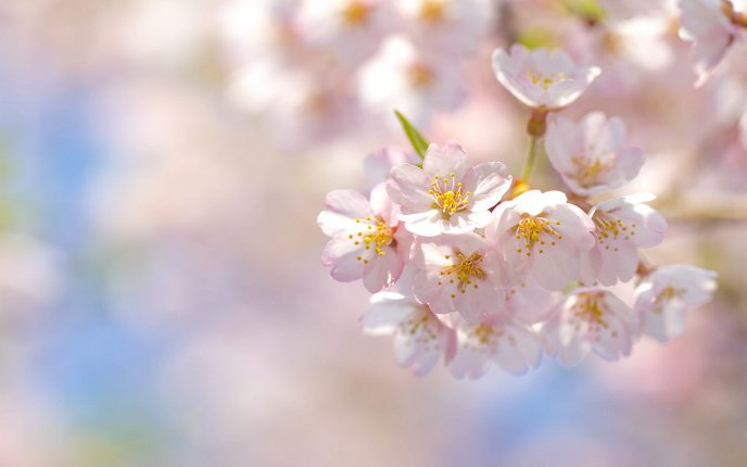 Cherry blossoms - revives nature