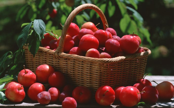 A basket full of huge and delicious cherries