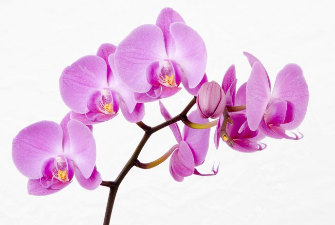 Beautiful Pink Orchid Flowers Hd Wallpaper