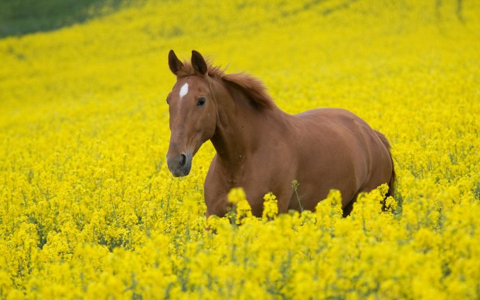 Download Wallpaper Beautiful brown horse in field of yellow flowers