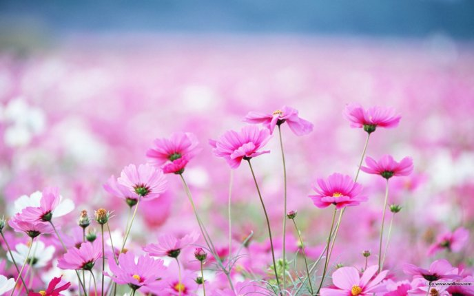 Beautiful pink windflowers - HD wallpaper