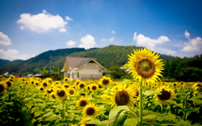 Beautiful sunflowers - the symbol of the sun