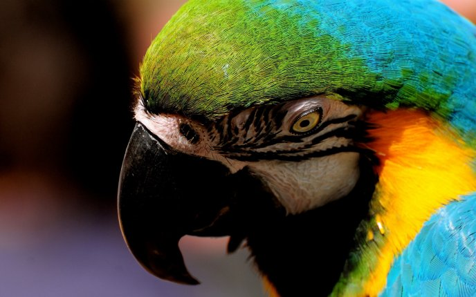 Big colorful parrot - macro HD wallpaper