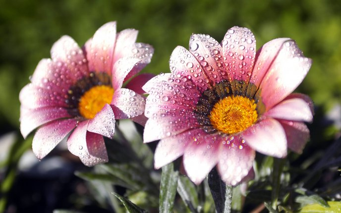 Two beautiful pink flowers dew drops in the morning download high