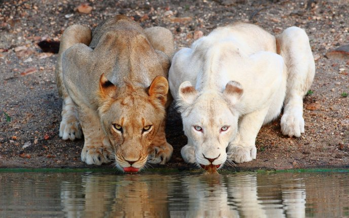 Two sweet lions at the water