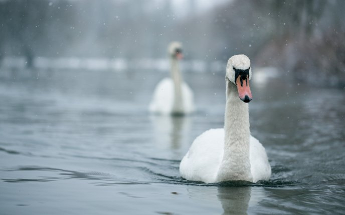 White swan on the lake in a rainy day