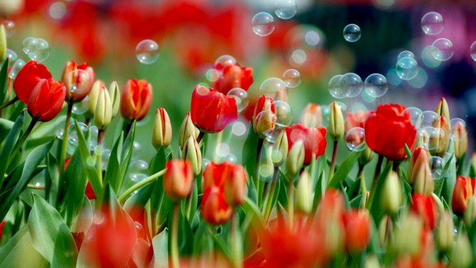 Water balloons in a garden full of red tulips