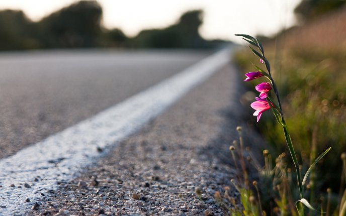 A small pink flower by the roadside