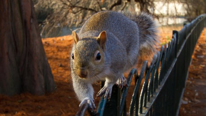 Big funny squirrel on a fence in park - Funny squirrel backgrounds ...