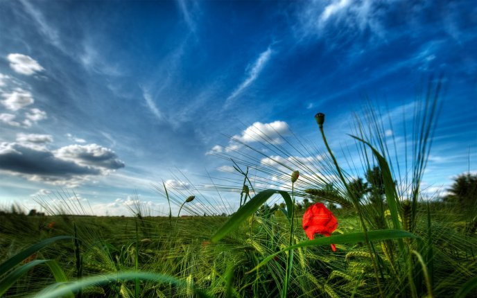 Red poppy on a green field - HD wallpaper