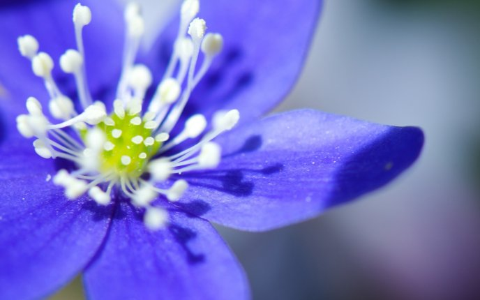 Little blue magic flower - HD macro spring wallpaper