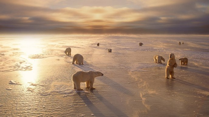 Polar bears walking on the ice - HD winter wallpaper