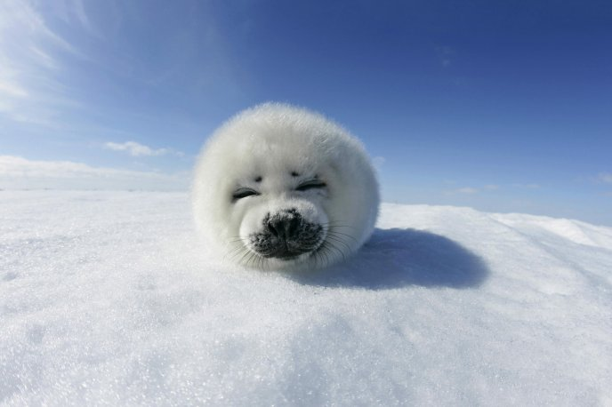 Little white seal - fluffy sweet animal