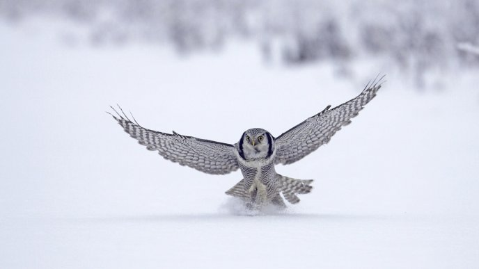 Big grey owl landing in the snow - HD winter wallpaper