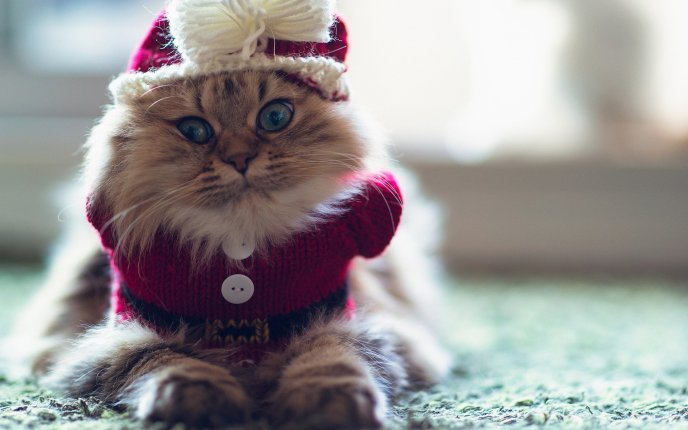 Christmas costume for cats , HD funny winter wallpaper