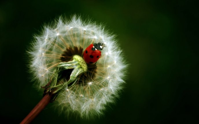 Little ladybug on a dandelion - Spring time