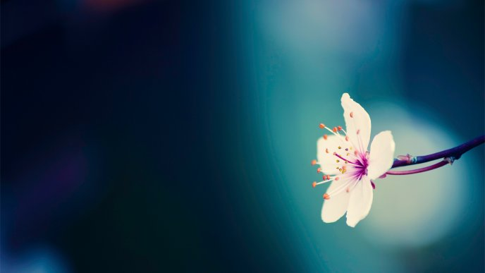 White spring flower on the blue background - HD wallpaper