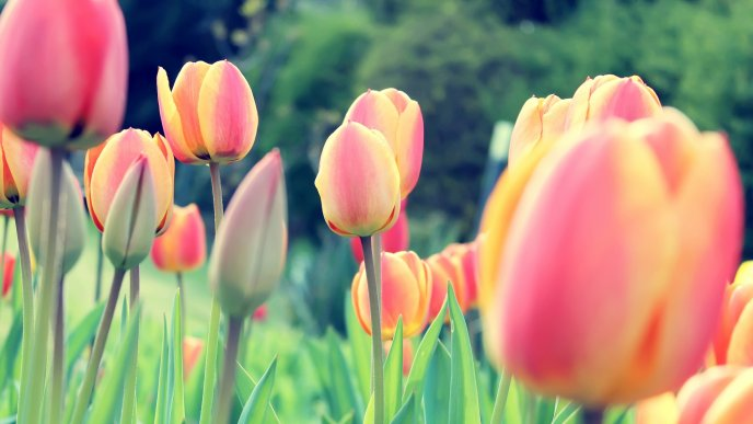 Garden with tulips - spring perfume in the nature