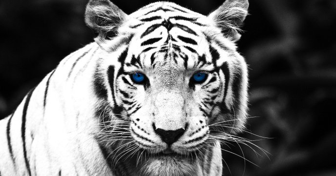 White and black tiger with blue eyes