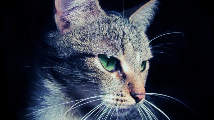 Gray cat with green eyes - HD wallpaper