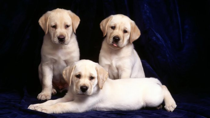 Three white sweet labradors - Dogs wallpaper