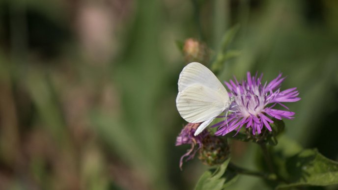 Beautiful white butterfly on a purple flower