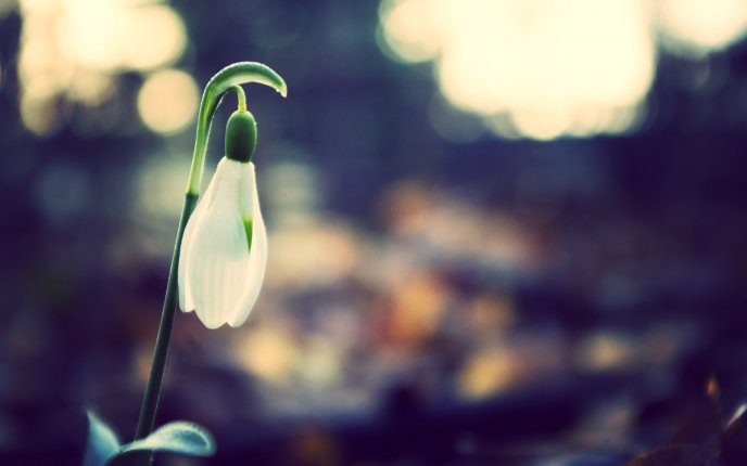 Download Wallpaper Single snowdrop - Spring season time