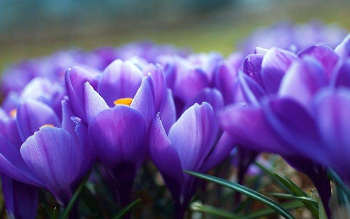 0a52f6a57842 Macro flowers - spring time - violet crocuses