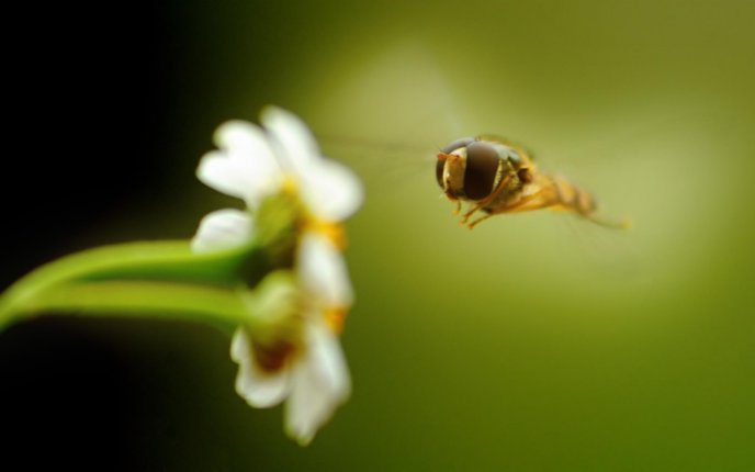 Bee flying directly to spring flowers - HD macro wallpaper