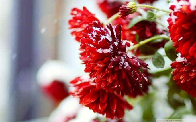 Macro red flowers full with snow , HD wallpaper