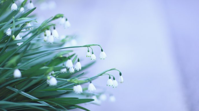 Beautiful spring flowers - Snowdrops