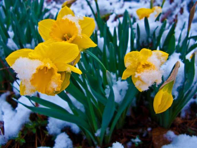Snow on the yellow spring flowers - HD wallpaper