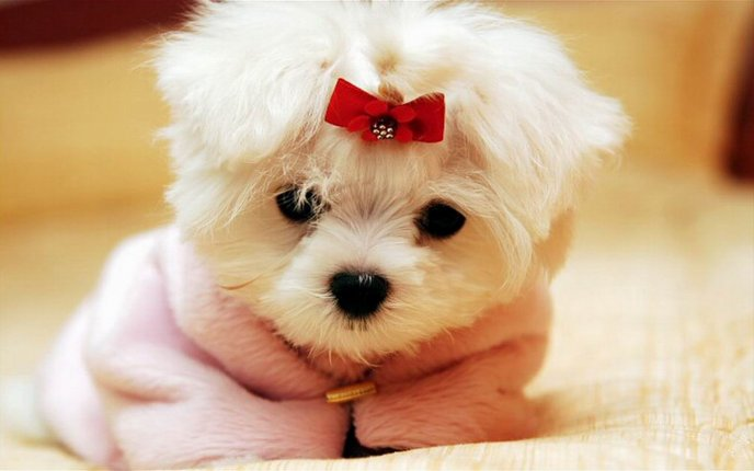 Download Wallpaper Sweet little white dog with a red ribbon - Animal wallpaper