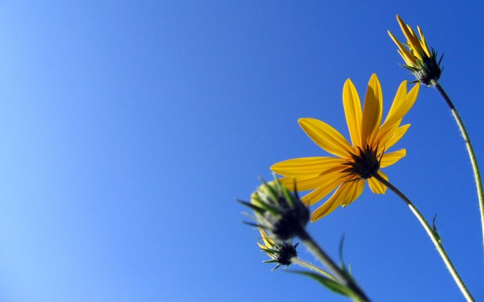 Yellow flowers and a beautiful blue sky - HD wallpaper