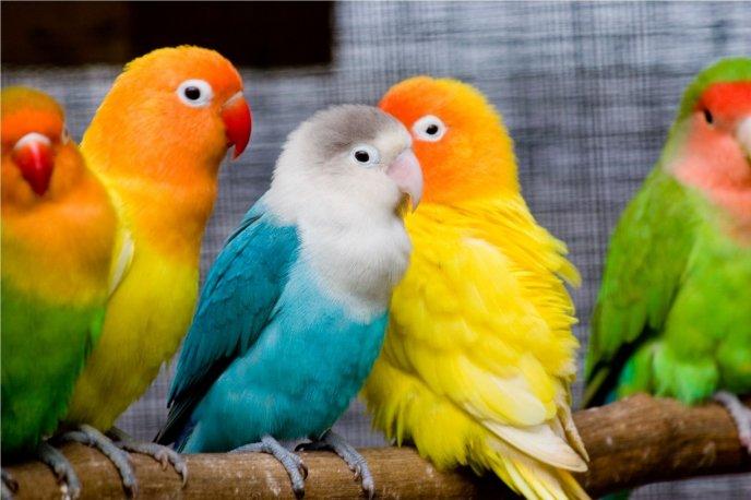 Wonderful cocktail parrots hd wallpaper birds voltagebd Images