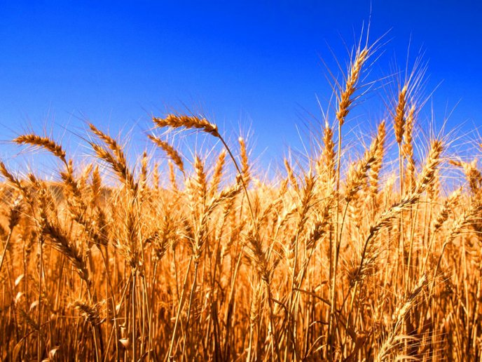 Download Wallpaper Wonderful golden wheat - Summer food HD wallpaper
